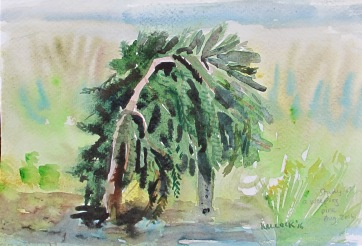 Study of Weeping Pine, watercolor on paper, 5 by 8 in. Emilia Kallock 2016